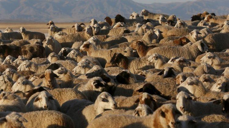 Tuva Cumhuriyeti'nde bir aile çiftliğinde otlayan koyun ve keçi sürüsü.